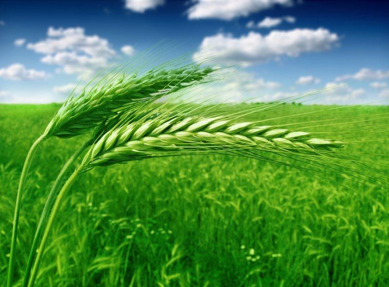 Sulful – Elementul-cheie pentru creșterea conținutului de proteină brută