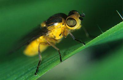 Atenție! Au apărut atacurile muștei galbene la grâu